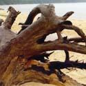 Pictured Rocks Driftwood
